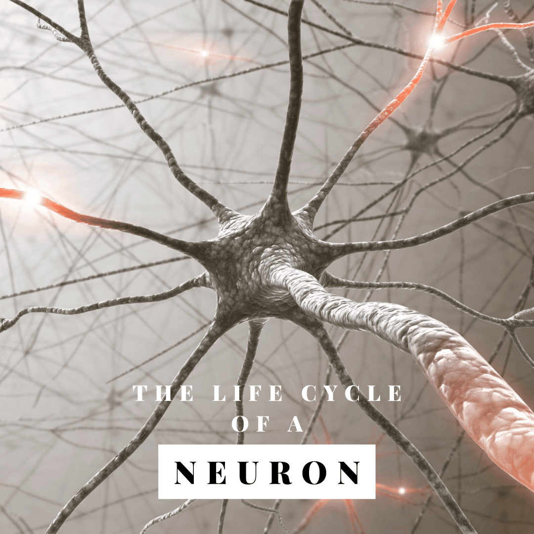 The Life Cycle of a neuron
