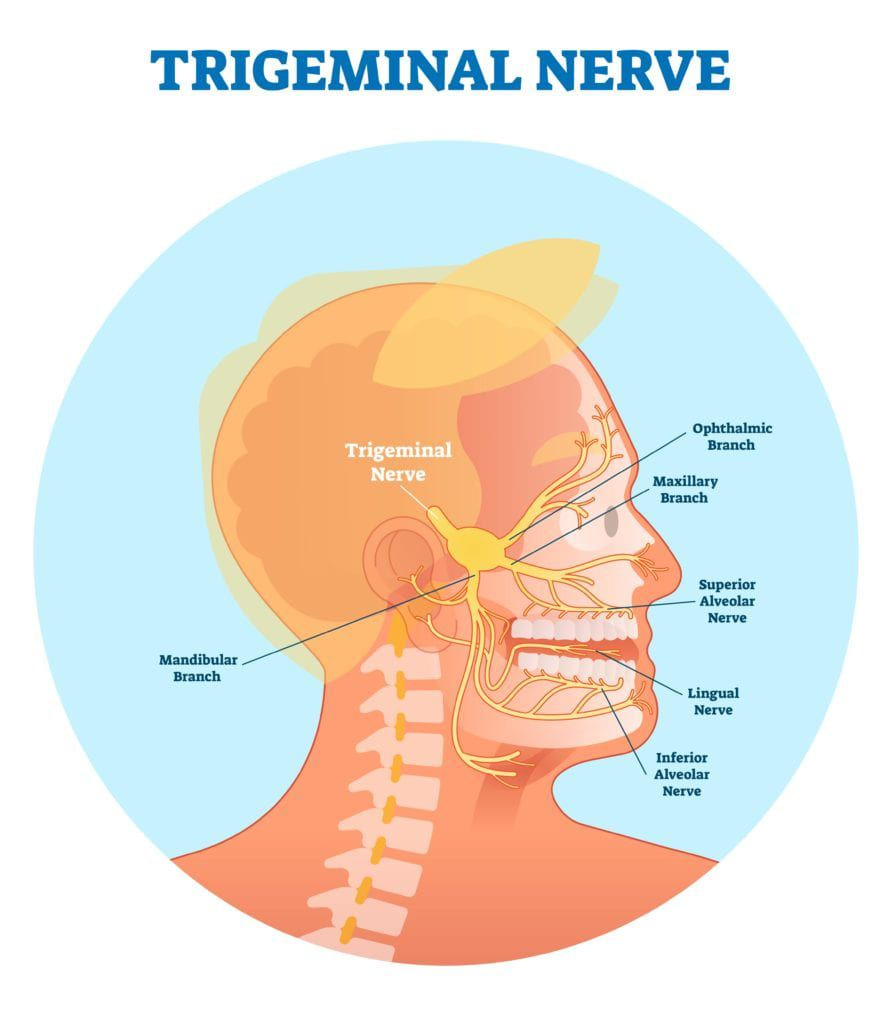 trigeminal nerve extending through the face