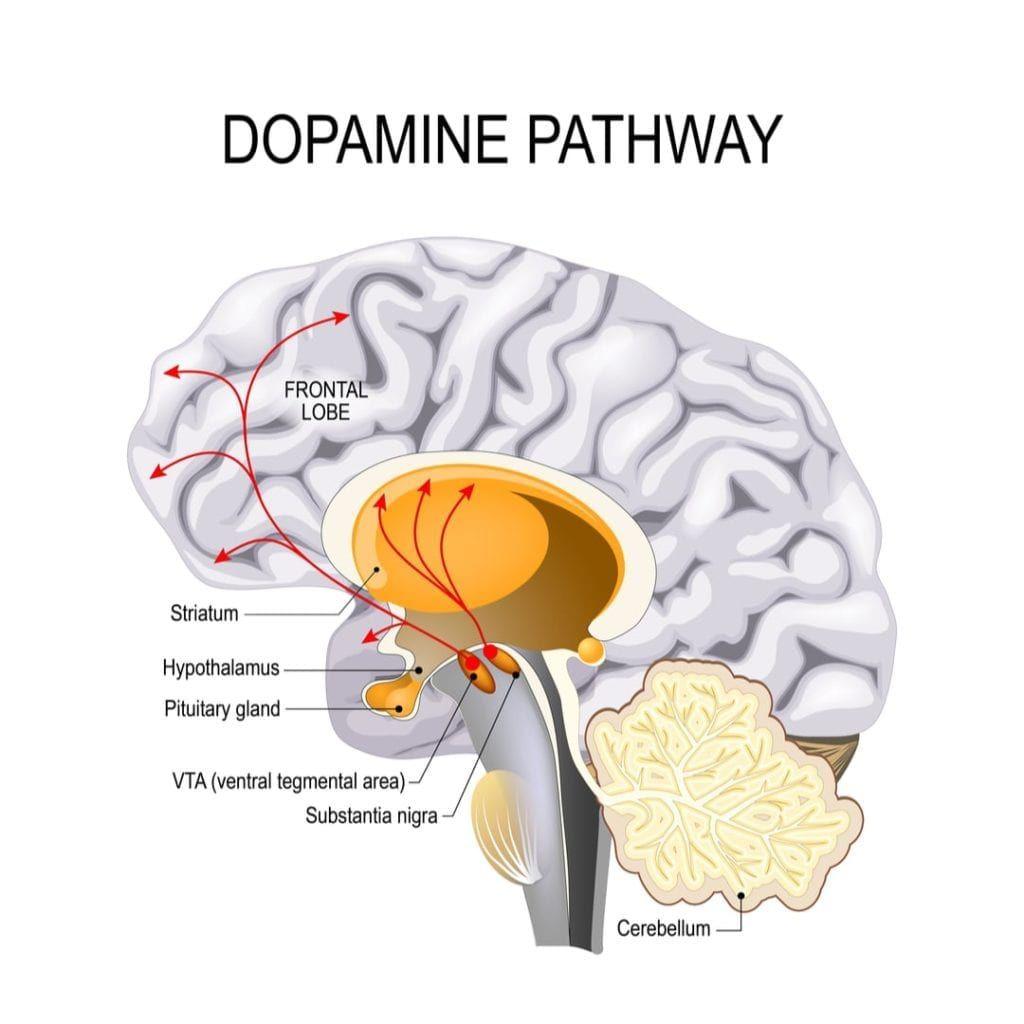 dopamine pathway